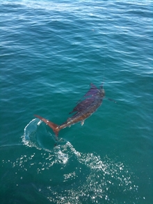 Gulf of Mexico Sailfish